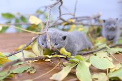 British Shorthair kittens climbing on branches. British Shorthair kittens playing among branches of tree, tree trunk and green leaves Stock Images