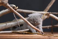 British Shorthair kittens meow among branches. British Shorthair kittens playing among branches of tree, tree trunk and green leaves Royalty Free Stock Image
