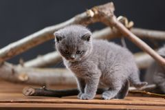 British Shorthair kittens meow among branches. British Shorthair kittens playing among branches of tree, tree trunk and green leaves Royalty Free Stock Photo