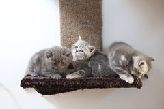 British Shorthair kittens Royalty Free Stock Image
