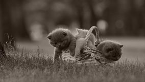 British Shorthair kittens in a basket on the grass. British Shorthair kittens playing among outdoors in the grass stock video footage