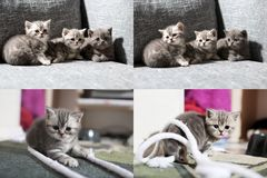British Shorthair kittens playing with rope, screen split in four parts Stock Photo