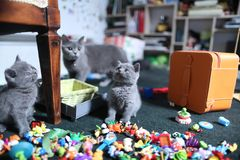 Cute British Shorthair kittens among toys. British Shorthair kittens playing with toys on the rug in living room Royalty Free Stock Photos