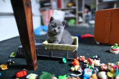 Cute British Shorthair kittens among toys. British Shorthair kittens playing with toys on the rug in living room Royalty Free Stock Images