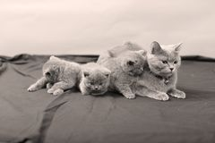 British Shorthair kittens portrait, isolated. Newly born British Shorthair kittens and mother portrait, close-up view, isolated, copyspace royalty free stock photo