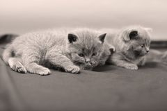 British Shorthair kittens portrait, isolated. Newly born British Shorthair kittens portrait, close-up view, isolated, copyspace Stock Photography