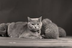 British Shorthair kittens portrait and mother, portrait. Newly born British Shorthair kittens and mother portrait, close-up view, , copyspace Stock Image