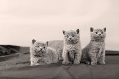 British Shorthair kittens portrait,. Newly born British Shorthair kittens and mother portrait, close-up view, , copyspace Stock Images