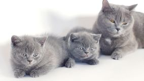 British Shorthair kittens portrait, white background, isolated stock video footage