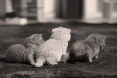 British Shorthair kittens run on carpet. Newly born kittens walking in living room, indoors royalty free stock photo