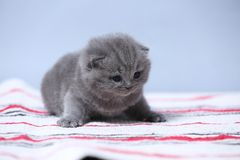 British Shorthair kittens sitting on the carpet. British Shorthair kittens on a handmade rug, cute face looking up Royalty Free Stock Images