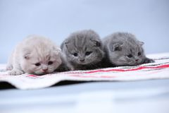 British Shorthair kittens sitting on the carpet. British Shorthair kittens on a handmade rug, cute face looking up Stock Image