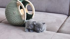 Small cats near a bag. British Shorthair kittens sitting near a women bag, couch background