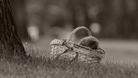 British Shorthair kittens in a basket on the grass. British Shorthair kittens sitting outdoors in the basket, grass in the garden stock footage