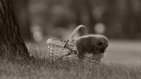 British Shorthair kittens in a basket on the grass. British Shorthair kittens sitting outdoors in the basket, grass in the garden stock video footage
