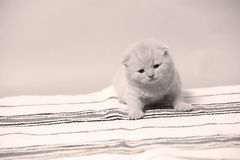 British Shorthair kittens sitting on a small carpet. Newly born kitten on a traditional handmade carpet, striped rug, cute face royalty free stock images