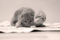 British Shorthair kittens sitting on a small carpet. Newly born kittens on a traditional handmade carpet, striped rug, cute face stock image