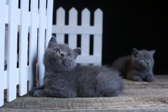 British Shorthair kitten, isolated portrait near a white wooden fence. British Shorthair kittens sitting in a small yard, white fence, cute portrait royalty free stock photo