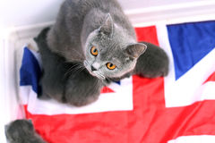 British Shorthair kittens sitting on a UK flag Royalty Free Stock Images
