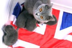 British Shorthair kittens sitting on a UK flag Stock Photo
