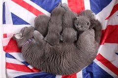 British Shorthair kittens sitting on a UK flag Royalty Free Stock Photo