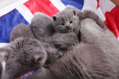 British Shorthair kittens sitting on a UK flag Stock Images
