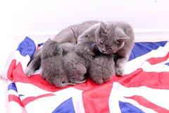 British Shorthair kittens sitting on a UK flag Stock Image
