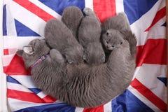 British Shorthair kittens sitting on a UK flag Royalty Free Stock Image