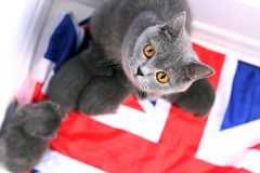 British Shorthair kittens sitting on a UK flag Royalty Free Stock Photos