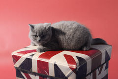 British shorthair Stock Image