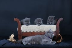 Kittens with mom cat sitting on a stool. British Shorthair kittens sitting on a vintage stool, against black background, isolated portrait Royalty Free Stock Images