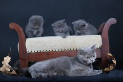 Kittens with mom cat sitting on a stool. British Shorthair kittens sitting on a vintage stool, against black background, isolated portrait Royalty Free Stock Photo