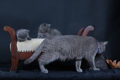 Kittens with mom cat sitting on a stool. British Shorthair kittens sitting on a vintage stool, against black background, isolated portrait Stock Photo