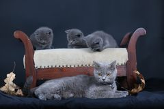 Kittens with mom cat sitting on a stool. British Shorthair kittens sitting on a vintage stool, against black background, isolated portrait Royalty Free Stock Photography