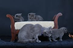 Kittens with mom cat sitting on a stool. British Shorthair kittens sitting on a vintage stool, against black background Royalty Free Stock Images