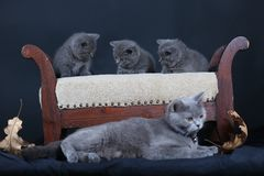 Kittens with mom cat sitting on a stool. British Shorthair kittens sitting on a vintage stool, against black background,  portrait Royalty Free Stock Photo
