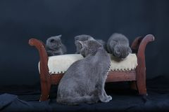 Kittens with mom cat sitting on a stool. British Shorthair kittens sitting on a vintage stool, against black background,  portrait Stock Image