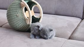 Small cats near a bag. British Shorthair kittens sitting in a women bag, couch background
