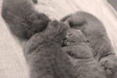 British Shorthair kittens sleeping Stock Photo