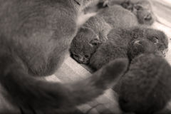 British Shorthair kittens sleeping Royalty Free Stock Images