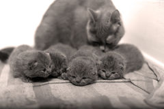 British Shorthair kittens sleeping Royalty Free Stock Photos