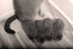 British Shorthair kittens sleeping Stock Photos