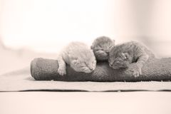 British Shorthair kittens sleeping. On the towels, cute face and paws Stock Images