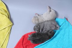 British Shorthair kittens sleeping. On the towels, cute face and paws Royalty Free Stock Images