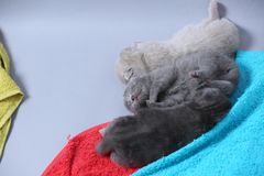 British Shorthair kittens sleeping. On the towels, cute face and paws Royalty Free Stock Photography