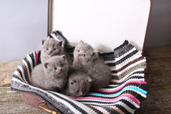 British Shorthair kittens on a small carpet Royalty Free Stock Images