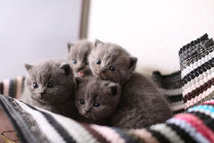 British Shorthair kittens on a small carpet Stock Photo