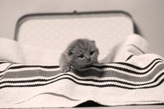 British Shorthair kittens in a suitcase. Newly born kittens on a traditional handmade carpet, striped rug in a suitcase stock image