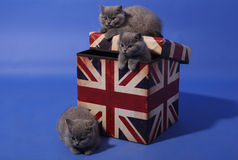 British shorthair kittens. Three British shorthair kittens on a Union Flag branded box Stock Image