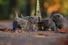 British Shorthair kittens and Tour Eiffel. British Shorthair kittens playing among autumn leaves and Tour Eiffel in Paris, France royalty free stock image